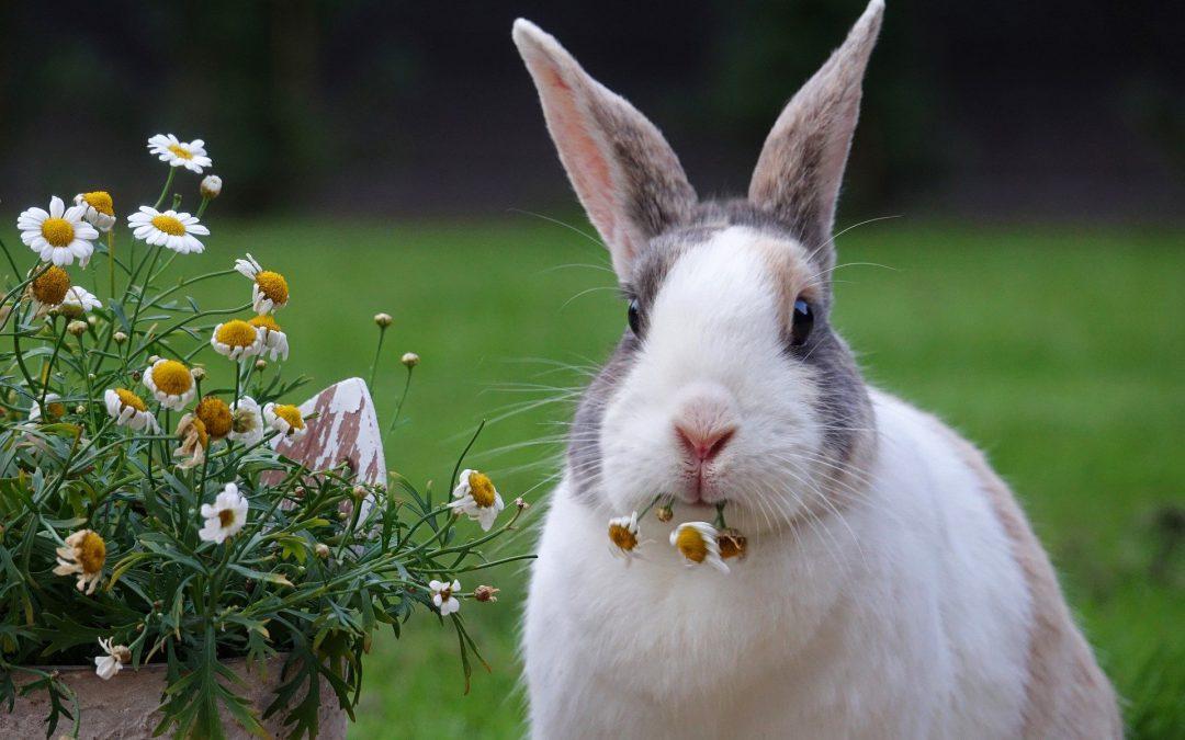 Czy królik może cierpieć na problemy behawioralne?
